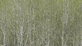 роща осины Стоковые Изображения