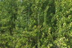роща осины Стоковое фото RF