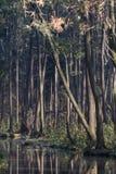Роща ольшаника Стоковое Изображение RF