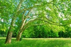 Роща плоских деревьев в весеннем времени Стоковое Изображение RF