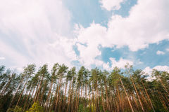 Роща сосны высокорослых тонких Coniferous вечнозеленых деревьев под сценарным Стоковые Изображения RF