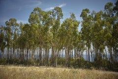 Роща тополя вдоль южного берега Сардинии Стоковые Изображения
