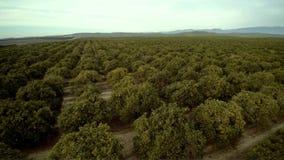 Рощи эстакады трутня оранжевые в Bakersfield Калифорнии сток-видео