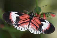 рояль бабочки ключевой Стоковое Изображение RF