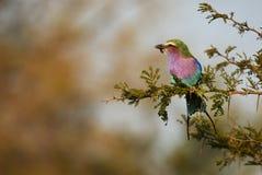 Ролик сирени-breasted садить на насест на ветви Стоковые Изображения RF