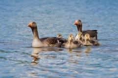Родительские гусыни Greylag с гусятами Стоковая Фотография RF