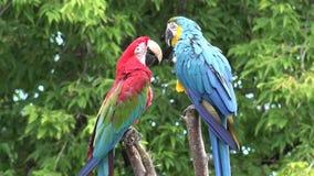 Род кабель ары красивого красочного оперения 2 нео тропический птицы попугая ara длинный узкий играя в конце вверх по съемке 4k сток-видео