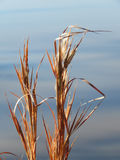 Родная прерия травы, Оклахома, Bluestem Elliott Стоковое Изображение RF