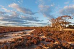 Родной австралийский ландшафт кустарников пляжа на заходе солнца Стоковое Изображение RF