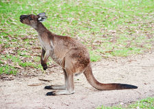 Родной австралийский кенгуру Стоковые Фото