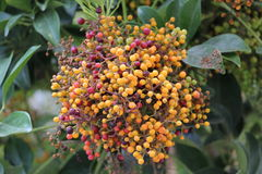 Родные австралийские ягоды Стоковое Фото