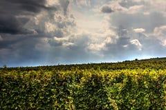 Родовые виноградники Стоковые Изображения RF