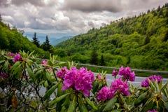 Рододендрон в большом национальном парке закоптелых гор стоковое фото rf
