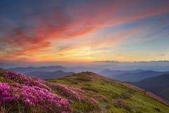 Рододендрон в горах Стоковое фото RF