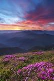 Рододендрон в горах Стоковые Изображения RF