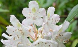 Рододендрон, цветок положения Западной Вирджинии Стоковые Фото