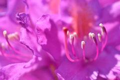 Рододендрон. Стоковые Изображения