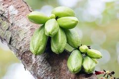 Род Averrhoa bilimbi от Таиланда Стоковое Изображение RF