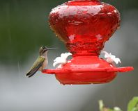 Рубиновая Throated женщина колибри на фидере стоковое фото