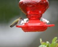 Рубиновая Throated женщина колибри на фидере стоковые фотографии rf