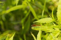 Рубиновый Dragonfly Meadowhawk делая паузу на лист Стоковые Изображения