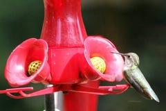 Рубиновый Throated колибри южная центральная Манитоба стоковое фото