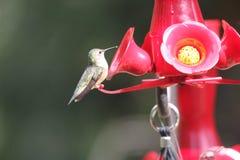 Рубиновый Throated колибри южная центральная Манитоба стоковые изображения