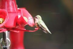 Рубиновый Throated колибри южная центральная Манитоба стоковые фото