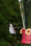 Рубиновый throated колибри стоковая фотография rf