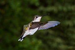 Рубиновый throated колибри стоковые изображения rf