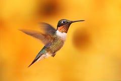 рубин hummingbird полета throated Стоковая Фотография