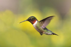 рубин hummingbird фидера throated стоковые фото