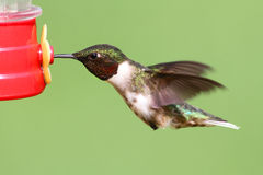 рубин hummingbird фидера throated Стоковая Фотография RF