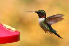 рубин hummingbird фидера throated Стоковые Изображения RF