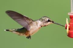 рубин hummingbird фидера throated Стоковые Фотографии RF