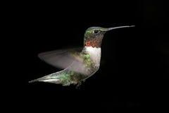 рубин hummingbird фидера throated Стоковое Изображение RF