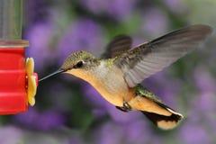 рубин hummingbird фидера throated Стоковое фото RF