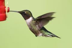 рубин hummingbird colubris archilochus throated Стоковые Фотографии RF