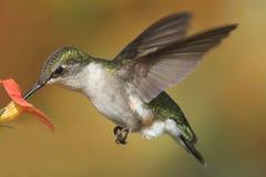 рубин hummingbird colubris archilochus throated Стоковое Изображение