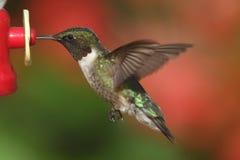 рубин hummingbird colubris archilochus throated Стоковая Фотография