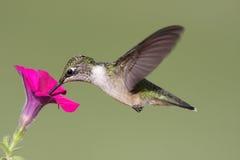 рубин hummingbird colubris archilochus throated Стоковое Изображение RF