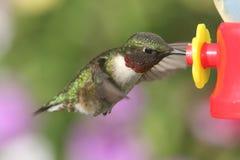 рубин hummingbird colubris archilochus throated Стоковое Фото