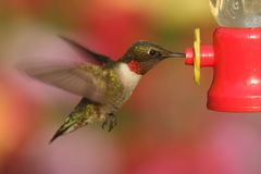 рубин hummingbird colubris archilochus throated Стоковые Фото