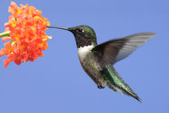рубин hummingbird colubris archilochus throated Стоковое фото RF