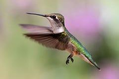 рубин hummingbird throated Стоковое Фото
