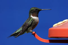 рубин hummingbird throated Стоковое Изображение RF