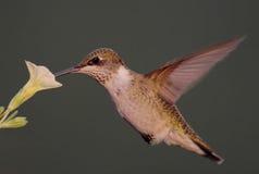 рубин hummingbird throated Стоковые Фотографии RF