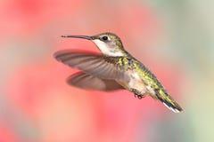 Рубин-throated колибри в полете Стоковые Фото