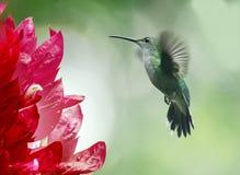 Рубин-throated колибри, женщина, colubris Архилоха Стоковая Фотография