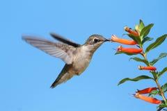 Рубин-throated колибри на цветке сигары Стоковое Изображение RF